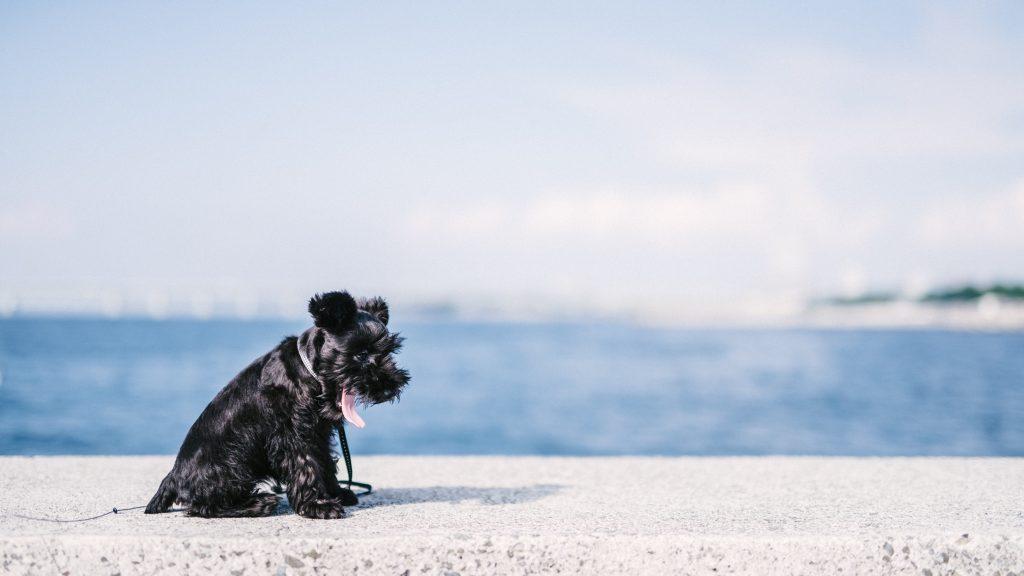 ミニチュアシュナウザーと海・ビーチ散歩