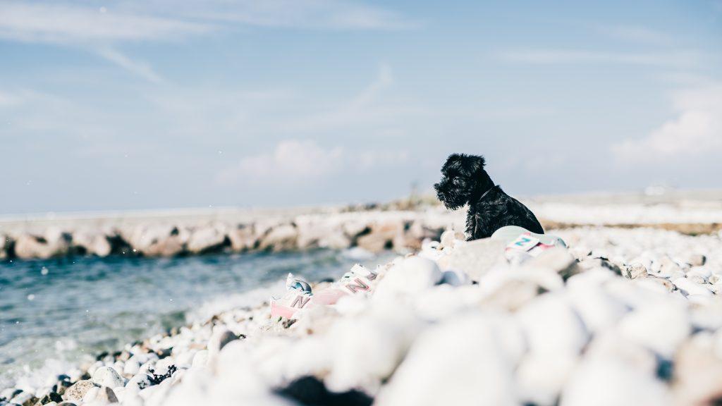ミニチュアシュナウザーと海で散歩